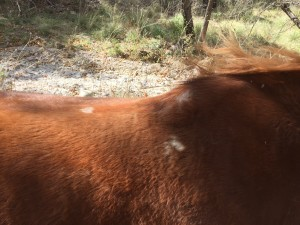 Daisy's saddle sore starting